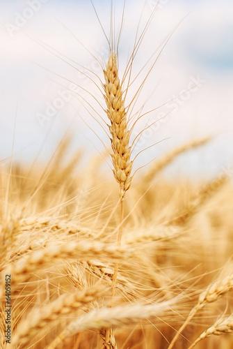 Leinwanddruck Bild Ear of wheat
