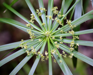 sedge plant flowers