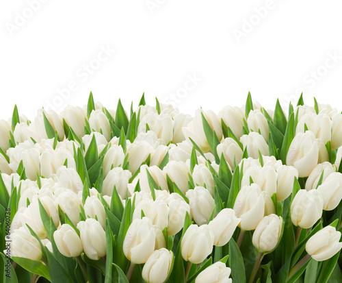 Foto op Aluminium Tulp white tulips
