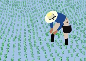 Farmer planting rice