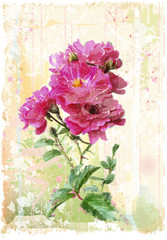 vintage illustration of the pink roses