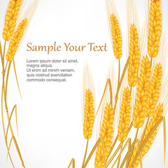 Ripe ear wheat on white background, agricultural vector