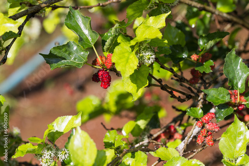fresh mulberry on tree