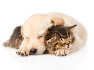 golden retriever puppy dog sleep with british kitten. isolated