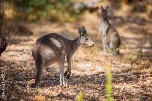 Foto op Canvas Kangoeroe Kangaroo eating in woods