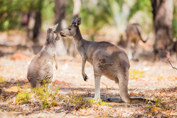 Two kangaroo in the wild