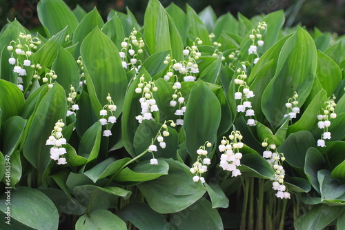 canvas print picture Du muguet