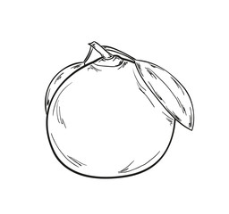 sketch of the tangerine