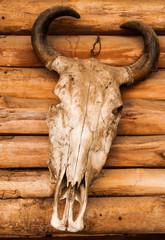 skull of buffalo