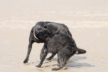 dogs play-wrestling on beach