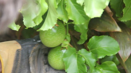 A hand holds two green passionfruit on a tree,