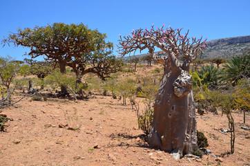 Плато Хомхил, бутылочное и ладанные деревья, остров Сокотра