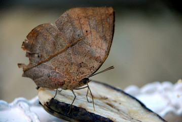 Butterfly which Musker under dry leaf tree eating a banana