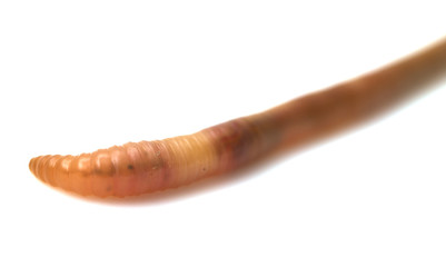 animal earthworm isolated on white