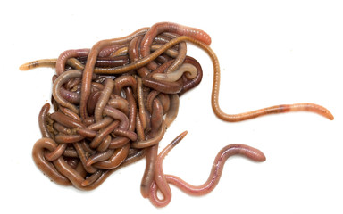 earthworms on a white background. Macro