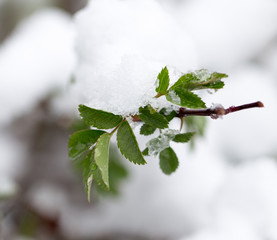 snow on tree leaves in spring