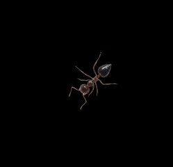 ant on a black background. macro