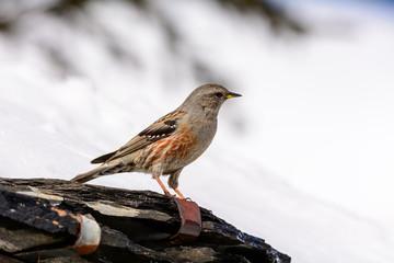 Sordone - Prunella collaris montana