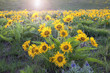 Arrowleaf Balsamroot Blooming Along Columbia River Gorge