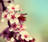 Fototapety Cherry Blossom. Sakura