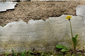 A flaked wall with a lonely dandelion