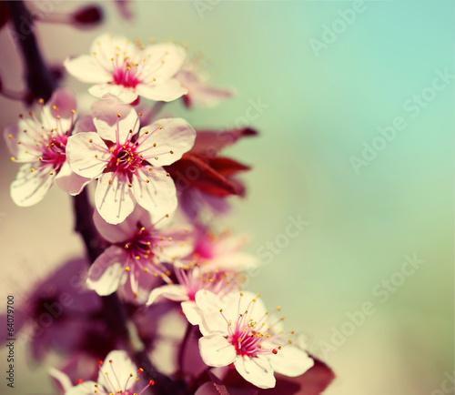 Fotobehang Kersen Cherry Blossom. Sakura