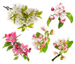 blossoms of apple tree, cherry twig