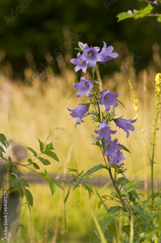Peach-leaved Bellflower, Campanula persicifolia