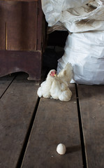 hen sits on the stock room