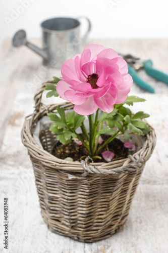 Pink persian buttercup flower and garden accessories