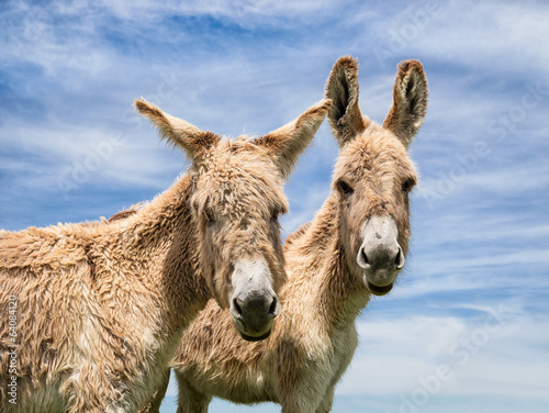 Portrait of two donkeys against blue sky
