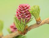 Fototapety Larch flower