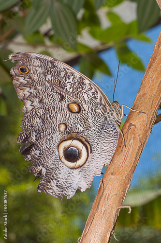 Giant Caligo oileus, the Oileus Giant Owl
