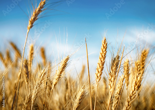Wheat ears under blue sky