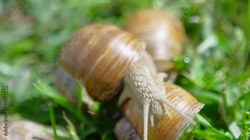 European pulmonate land snail (Helix aspersa)