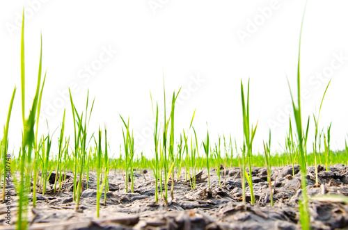 Rice seedlings germinated on the ground to dry in the summer