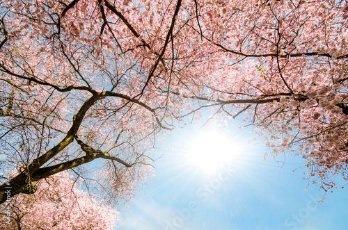 Wall mural Blick in Dach aus Japanischen Kirschblüten :)