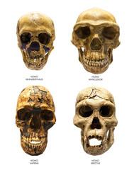 Skull of Homo Erectus, Sapiens, Neanderthalis and Antecessor