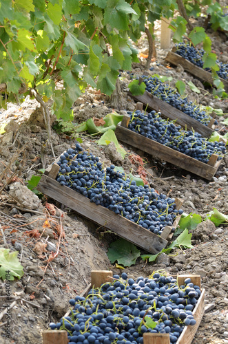 Wooden crates fool of harvested grapes
