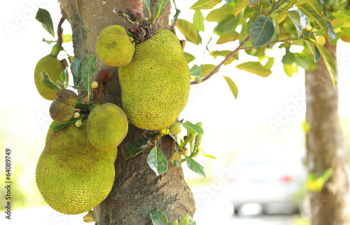 jackfruit grow on tree