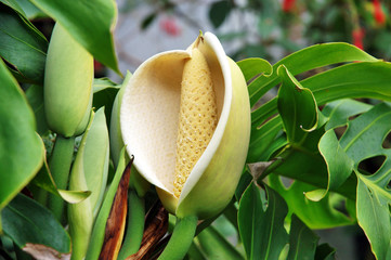 Monstera flower