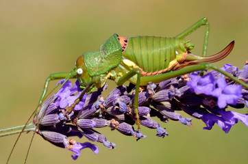 Grasshopper on lavender flower