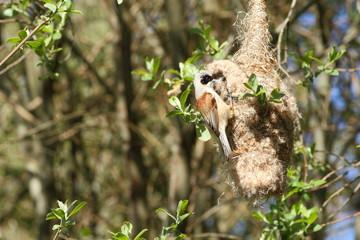 Remiz pendulinus. Pájaro Moscón construyendo el nido. León.