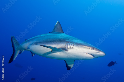 A grey shark jaws ready to attack underwater close up portrait