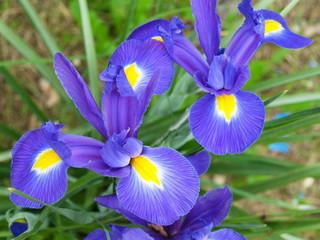 Coppia di iris blu e viola