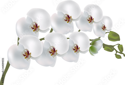 isolated white orchid flower branch