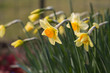 beautiful yellow daffodils in spring time