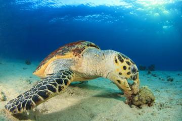 Hawksbill Sea Turtle eating coral