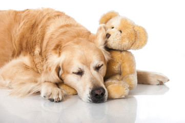 Golden Retriever mit Teddy