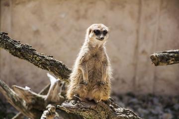 Meerkat standing alone